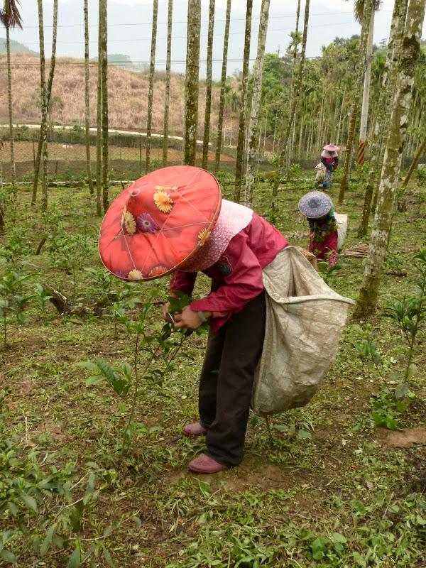 Puli, Nantou county, cueillette de thé - P1050594.JPG