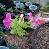 Gardening 2010 - 101_1656.JPG