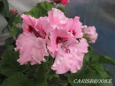 Красота без границ - Страница 7 Carisbrooke%252520%2525286%252529