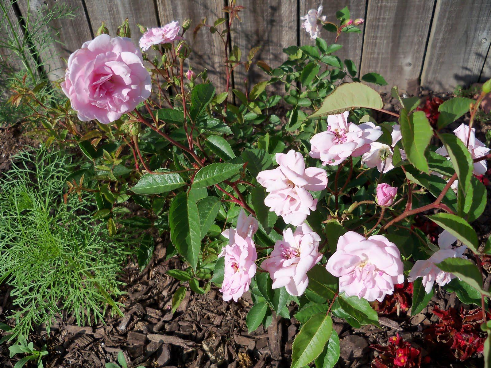 Gardening 2010 - 101_1484.JPG