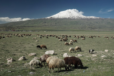 Schafe auf einer Wiese am Fuße des Ararat