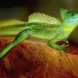 Sur la poutre by Gérard CHATENET - Animals Reptiles