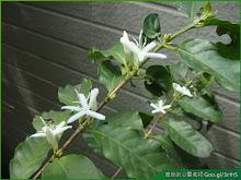 咖啡樹盆栽