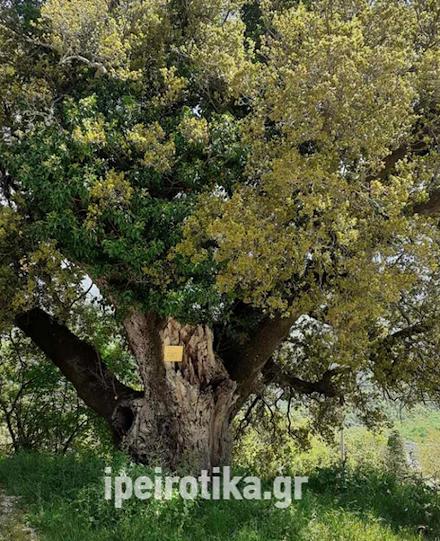 Ζαγοροχώρια : το πουρνάρι που θεωρείται από τα μεγαλύτερα και μακροβιότερα της Ελλάδας