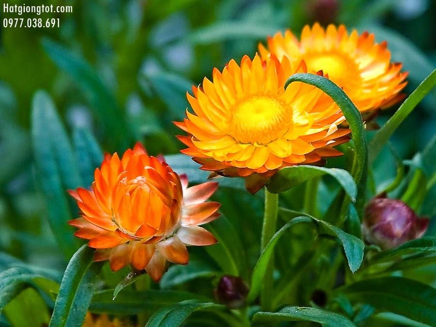 Hạt giống hoa cúc bất tử