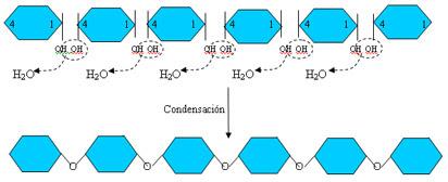 polimerizaglucosa