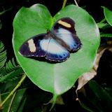 Euphaedra ceres FABRICIUS, 1775 (?). Bobiri Forest (Ghana), 16 décembre 2009. Photo : Henrik Bloch