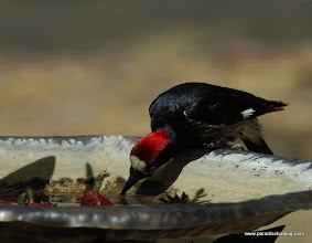Photo: Adult male Acorn Woodpecker drinking from a bird bath, Madera Canyon, Arizona
