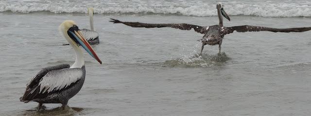 Pelikan-Art in Ecuador