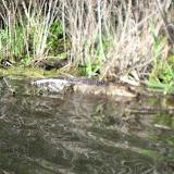 Alligator at Barefoot Landing in Myrtle Beach - 02