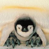 Safe Harbor, Emperor Penguins, Weddell Sea, Antarctica.jpg