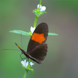 Heliconius erato hydara HEWITSON, 1867. Amazone Nature Lodge, Montagne de Kaw. 17 novembre 2011. Photo : J.-M. Gayman