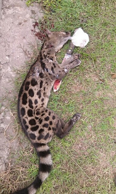 Photos : a leopard like creature killed in Lagos