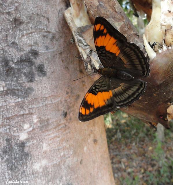 Adelpha mesentina (CRAMER, 1777). Rive du Rio Teles Pires, município de Nova Canaã do Norte (Mato Grosso, Brésil), 11 juin 2011. Photo : Cidinha Rissi