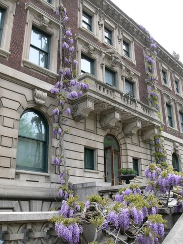 Ancient wisteria is an iconic image at Cooper-Hewitt, National Design Museum