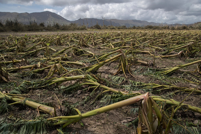 Plantain trees flattened by Hurricane Maria in Yabucoa, P.R. In a matter of hours, the storm destroyed about 80 percent of the crop value in Puerto Rico, the territory's agriculture secretary said. Photo: Victor J. Blue / The New York Times