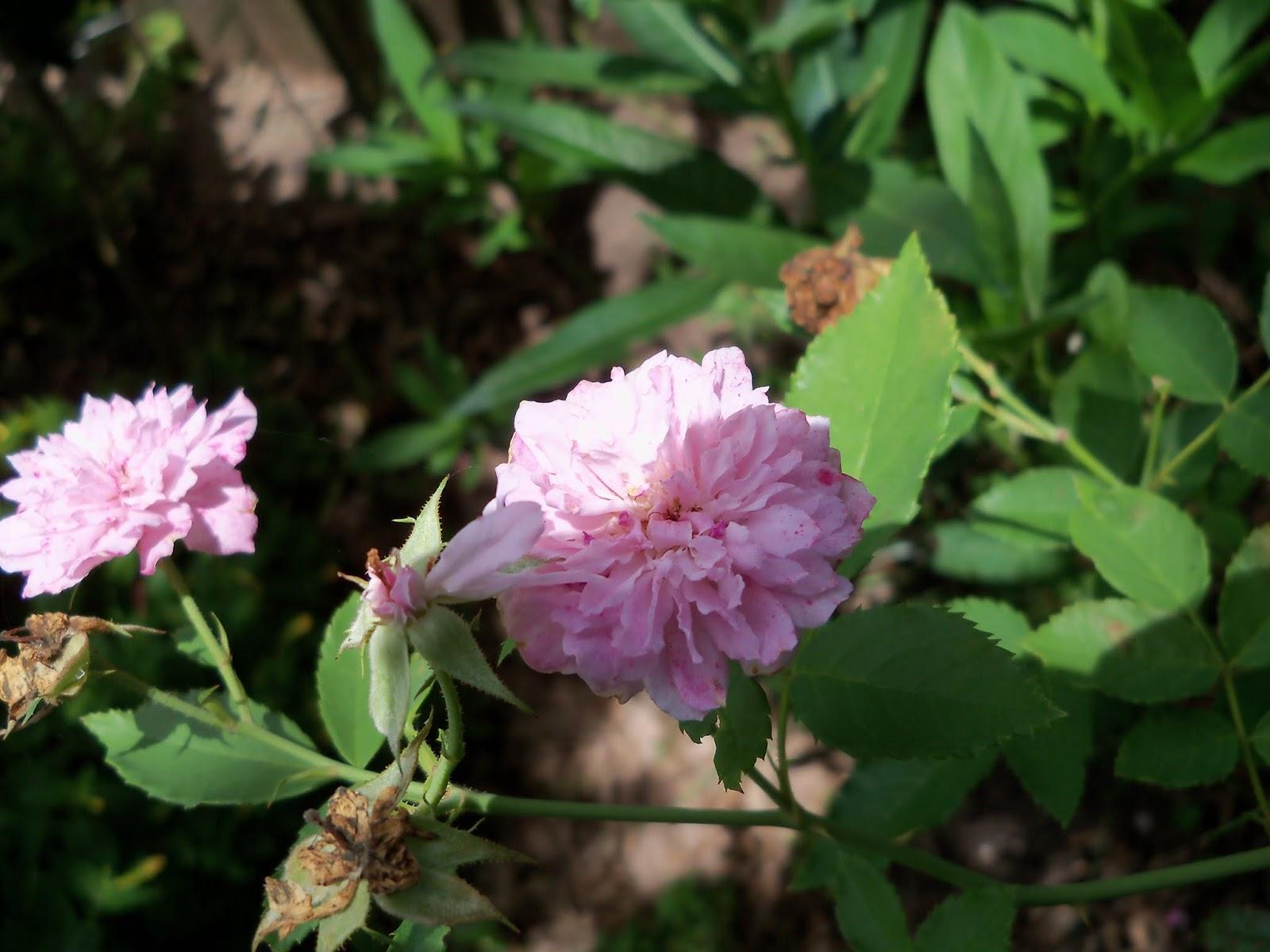 Gardening 2015 - 116_9402.JPG
