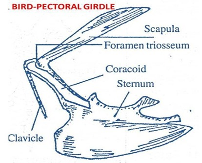 bird-pectoralgirdle