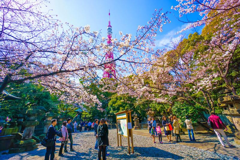 増上寺 桜 写真 14