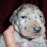 Giambattista family's blue merle girl @ 2 weeks