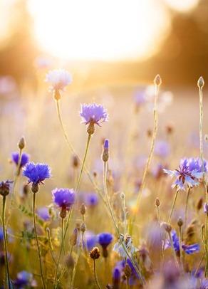 cornflower-blue1