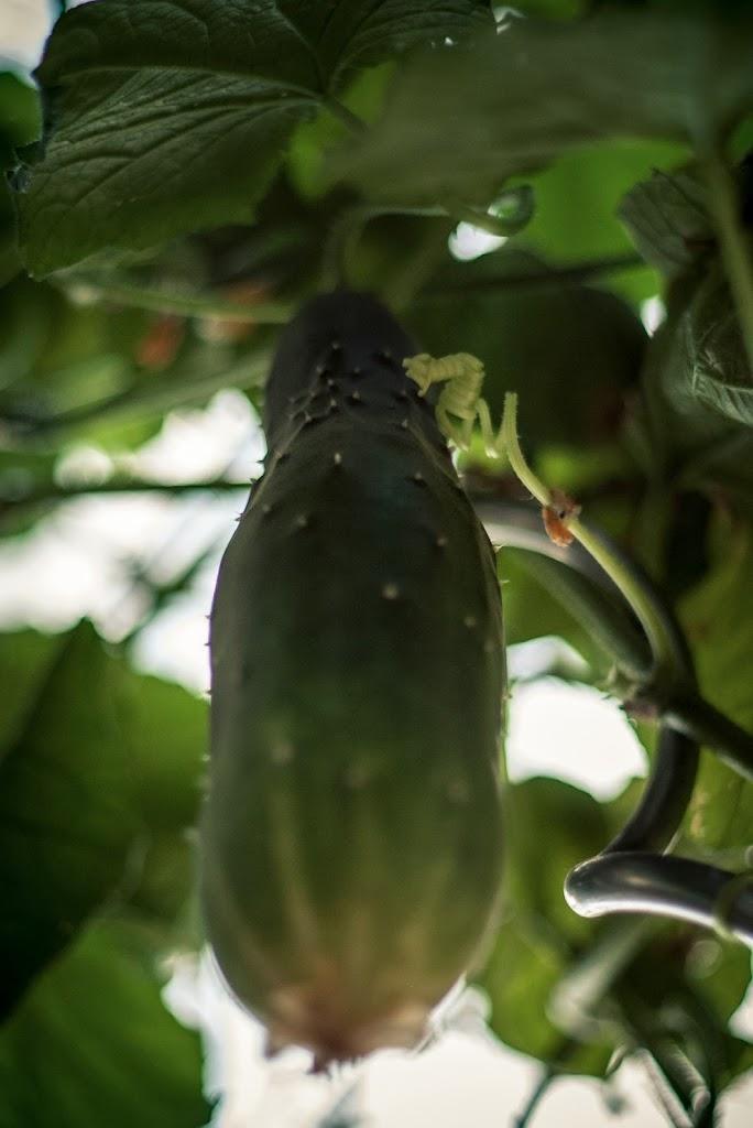 Cucumbers-06