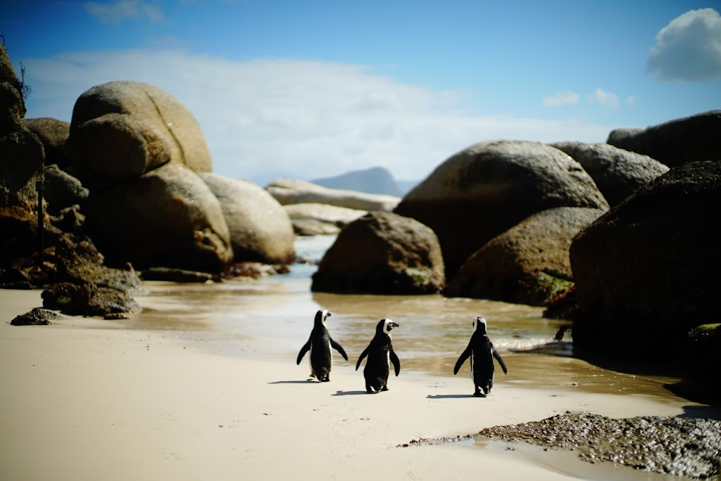 African penguin colony in Boulders Beach, Cape Town, South Africa