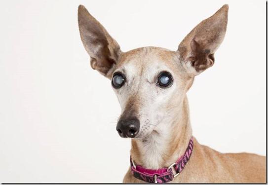 occhi-cane-anziano
