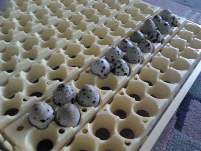 Quail eggs in their incubator trays!