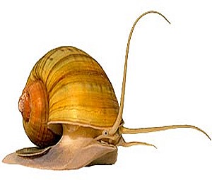 apple-snail-pila-eyes-sense organs