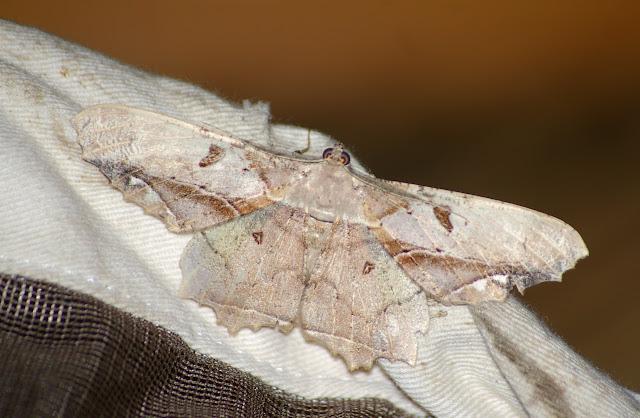 Geometridae, Ennominae, Boarmiini : Chorodna complicataria Walker, 1860. Sepilok, 10 août 2011. Photo : J.-M. Gayman