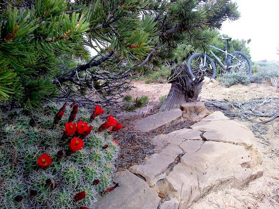 My favorite Claret Cup Cactus along Luke's Trail