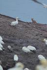 RENARD, CHENAPAN ! Le renard est un prédateur des ?ufs et des jeunes fous sur l'Ile Bonaventure, mais n'ose pas s'attaquer aux adultes !