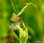 Storplettet perlemorsommerfugl