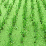 This is part of the Organic Paddy Experimentation with Azolla in the fields..