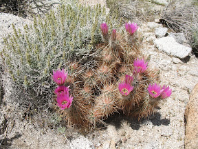 Hedgehog Cactus in RockHouse Canyon