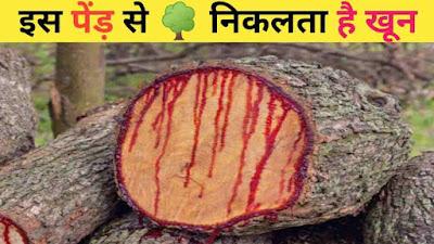 इस पेंड़ को काटने पर निकलता है खून ! most mysterious tree's in the world