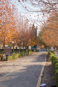 Chinar trees, Comsats Abbottabad