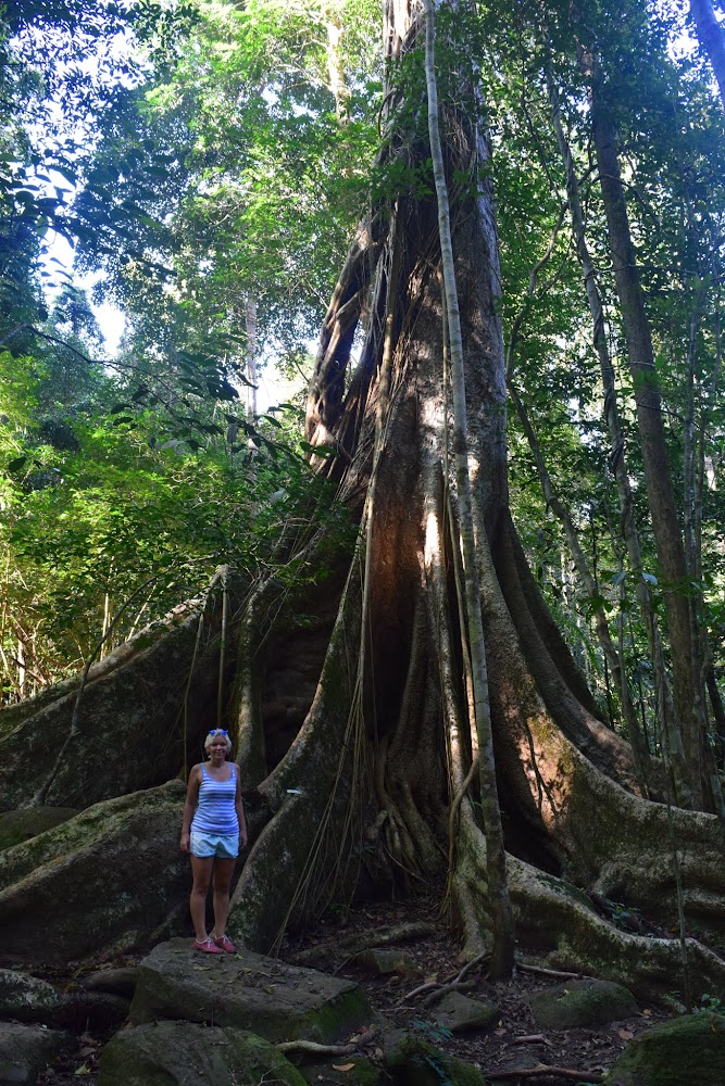 unbelievably amazing super-tree in the middle of the trail... look at how big the roots are!