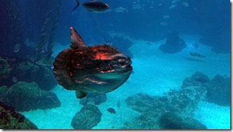 peixe-lua-oceanario-de-lisboa-7