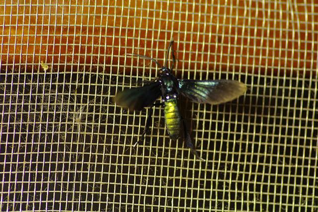 Arctiidae : Ctenuchinae : Macrocneme chrysitis (GUÉRIN-MÉNEVILLE, 1844). Santa Fe (Veraguas, Panamá), 18 octobre 2014. Photo : J.-M. Gayman