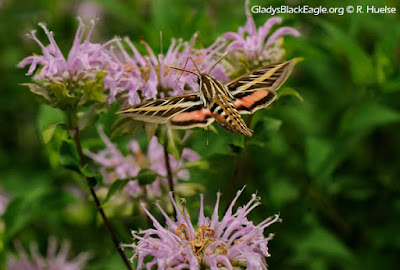 The white-lined sphinx moth is another hovering moth with a tongue longer than its body and can locate fragrant flowers by trailing the upwind fragrance.