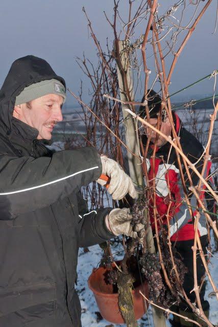 Zweistellige Minusgrade gabs in Auggen zuletzt bei der Eisweinlese im November 2001 erinnert sich Winzerkeller-Vorstandsvorsitzender Günter Rüdlin.
