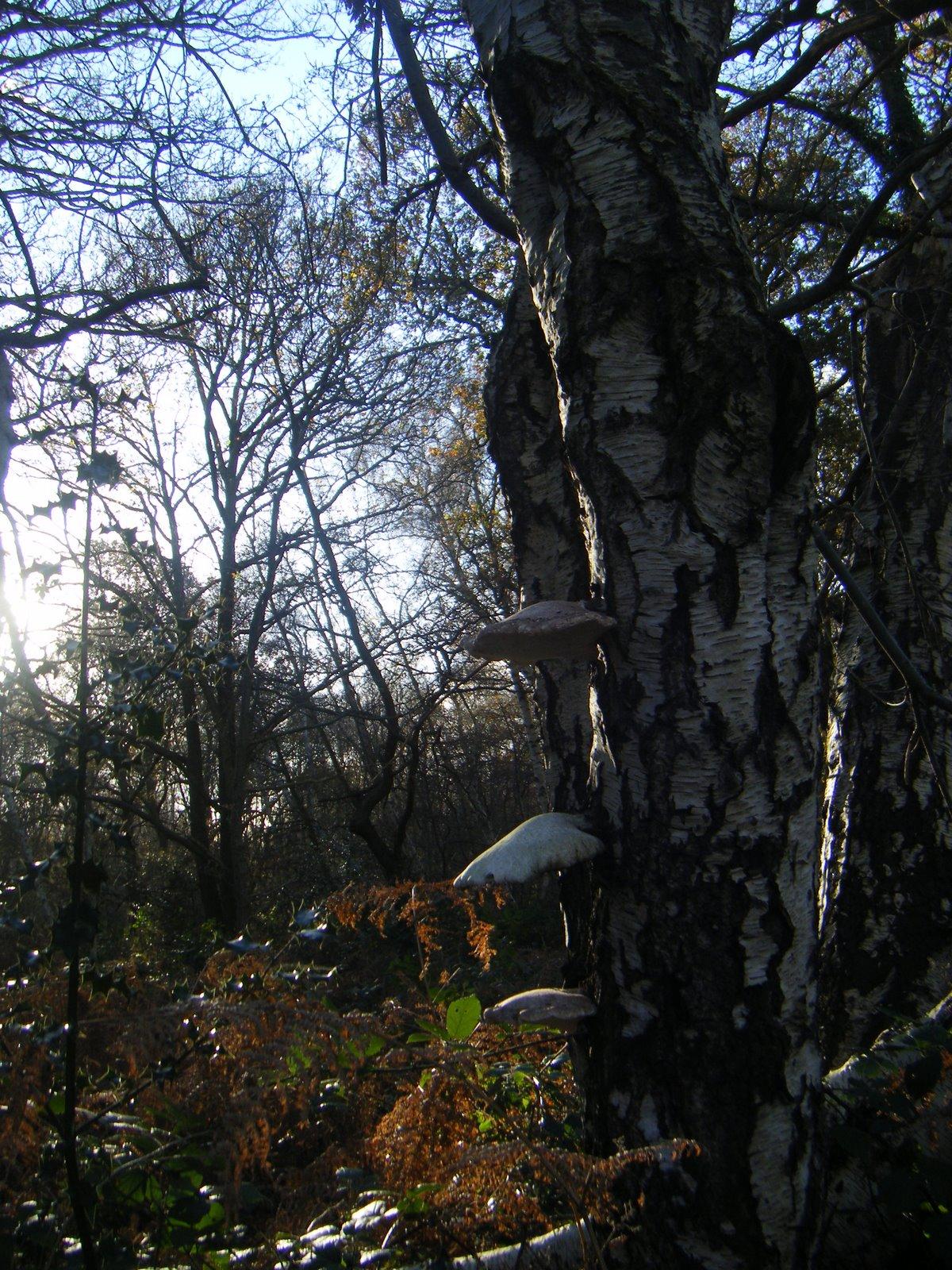 DSCF1521 Fungus on a tree