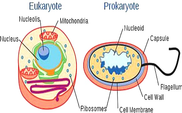 eukaryotic prokaryotic cells Knowing how cells work is critical in the genetics field all living things consist of  one or both of two cell types: prokaryotes and eukaryotes the basic biologies of .