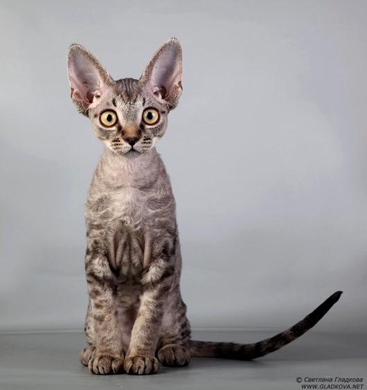 Сколько стоят разные породы кошек