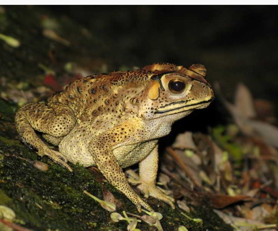 Sumatran Toad