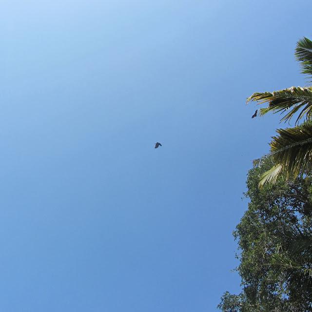 Fruit Bats. backwaters of Allephuza, India