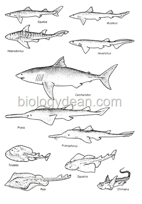sharks-Cartilaginous-Fish
