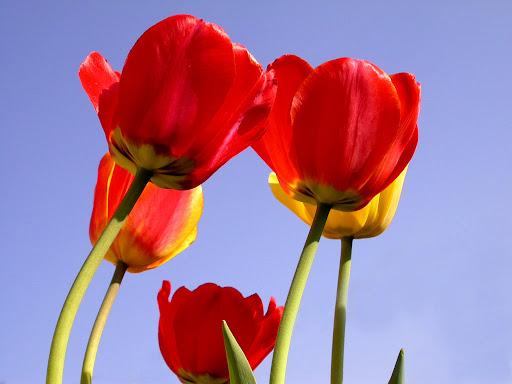 Tulips a.jpg